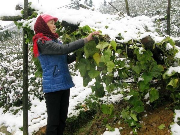 Sa Pa, Lào Cai, tuyết, phủ trắng, dày
