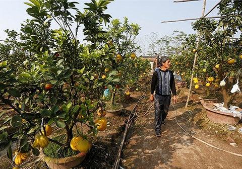 Ngắm vườn cây có 5 loại quả của lão nông Hà Thành