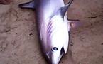 Cá mập dài 2m dạt vào bãi tắm Nha Trang