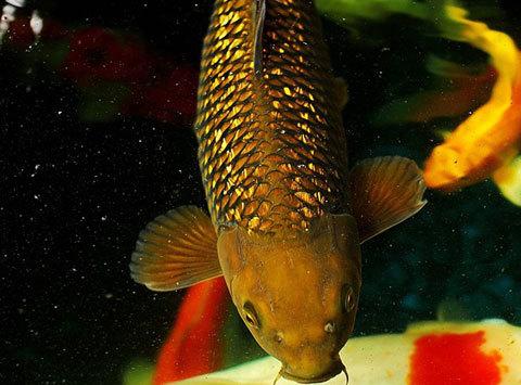 200 triệu đồng một con cá chép Nhật