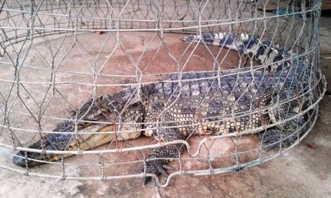 Người dân đi cắt cỏ, bắt được cá sấu dài 1m