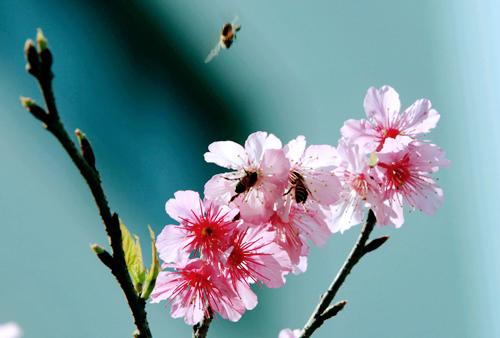 Hoa anh đào rực rỡ giữa lòng Hà Nội