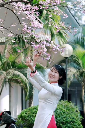 Hoa anh đào, Hà Nội, rực rỡ