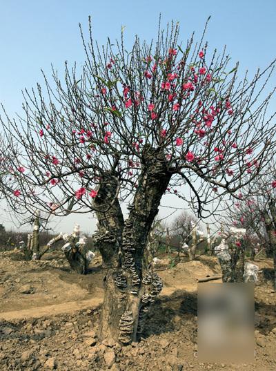 Những 'siêu cây' tiền tỷ làm náo loạn ngày xuân