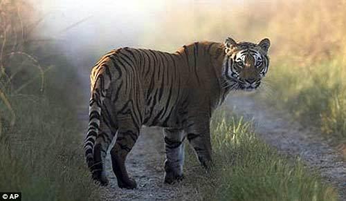 Hổ ăn thịt 10 người sau khi thoát khỏi vườn thú