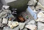 Rùa vàng xuất hiện ở suối cá thần ngày đầu năm