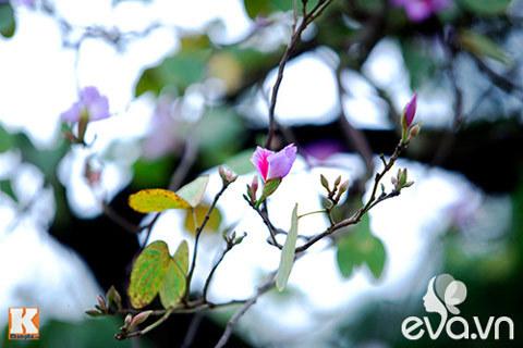 Mai anh đào, Đà Lạt, mùa xuân