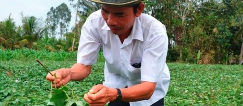 Lạ thường: Thương lái Trung Quốc săn mua lá khoai non
