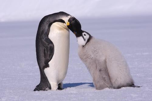Thử sức giải bài toán chim cánh cụt