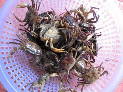 Bất an với cua, ốc nuôi ở Hà Nội nhiễm kim loại nặng