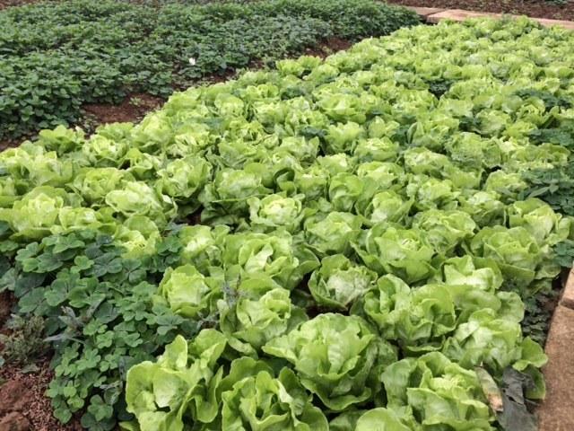 Loạn rau sạch: Nông dân bỏ trồng, người dùng bỏ ăn