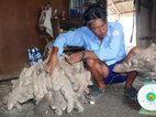 Củ khoai 'khủng' nặng 64kg ở Cà Mau