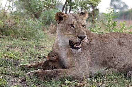 khỉ baboon, sư tử, giết khỉ mẹ, âu yếm khỉ con, cảnh lạ thường