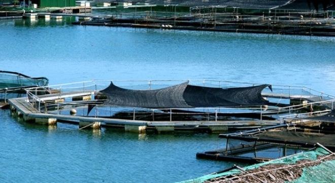 cá-tầm