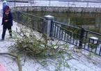 Cây sưa 2 lần bị mất hụt ở Hà Nội