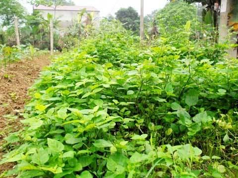 Hà Nội: Cả làng ăn đặc sản rau dại 'cứu đói'