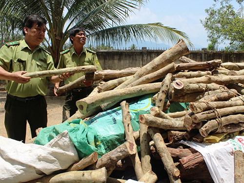 Thương lái Trung Quốc mua cả gỗ trắc non