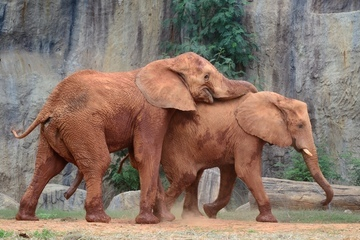 voi, làm tình, chuyện ấy, sinh sản, voi đực, voi cái