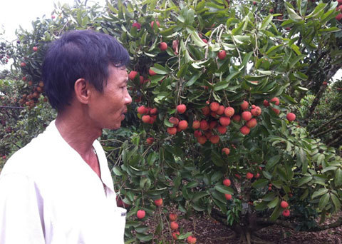 Vải chín đỏ đồi, người trồng đỏ mắt thắt ruột