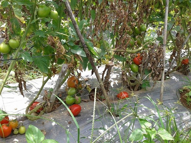 Dân Đà Lạt đổ cả trăm tấn cà chua cho bò ăn