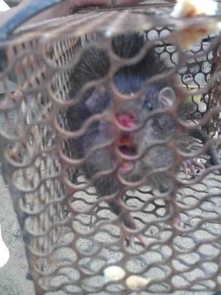 Đặc sản chuột cống cỏ chân hồng: 'Ngọc trời' của dân nhậu