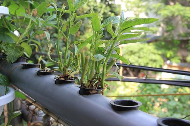 Vườn treo di động 2 m2 đủ rau cho cả nhà dùng