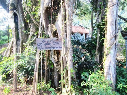 cây đa, di chuyển, Ninh Bình, vườn chim Thung Nham, kỳ lạ, đền Gối Đại