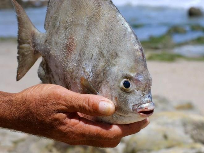 Cá ăn tinh hoàn nguy hiểm bất ngờ xuất hiện tại Nga
