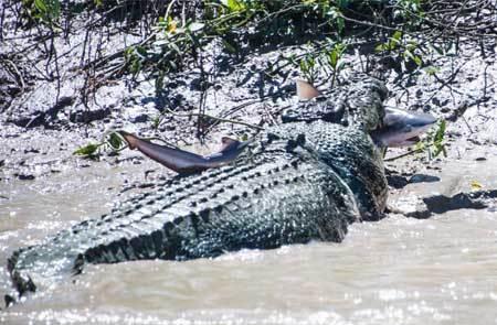 Cá sấu cụt chân 'xơi tái' cá mập trả thù