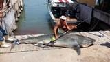 Cá mập hổ 'khổng lồ' bị hạ gục sau 7 giờ vật lộn