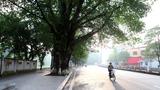 Hàng cổ thụ đẹp sắp 'biến mất' ở Thủ đô