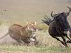 Xem sư tử tung mình ngoạn mục quật ngã linh dương