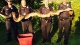Cảnh sát bắt sống trăn khổng lồ chuyên ăn thịt chó mèo