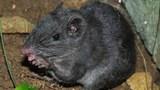 Thông tin mới về chuột nghi đã tuyệt chủng 11 triệu năm