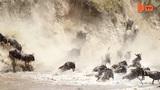 Ngoạn mục cảnh hàng nghìn linh dương lao xuống sông như thác đổ