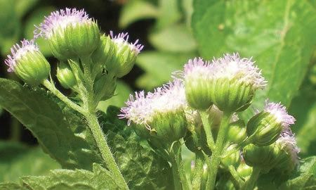 Hoa ngũ sắc - thảo dược trị viêm xoang