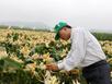 Dân Việt sắp được ăn ngô biến đổi gen