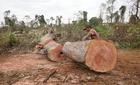 70 lâm tặc vây đánh bảo vệ rừng, cướp gỗ lậu