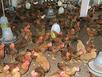 Sốc: Đấu nhầm điện giết chết 5.400 con gà ở Hải Dương