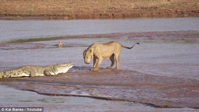 Cuộc chiến khốc liệt giữa bầy sư tử và cá sấu