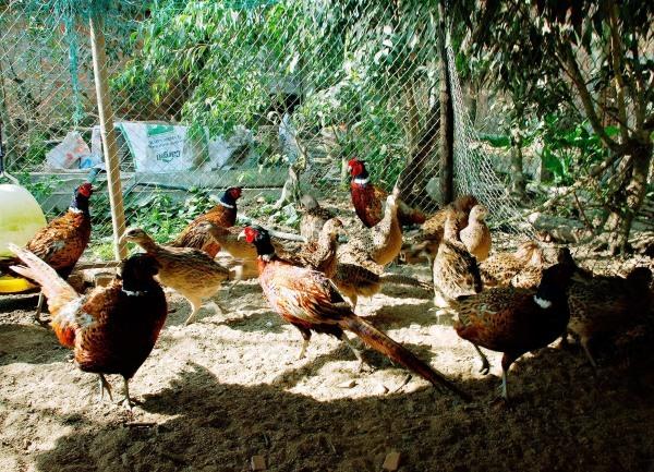 Hàng trăm con chim chết vì cúm H5N6 ở Lào Cai