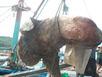 Cá 'khủng' nặng hơn nửa tấn mắc lưới ngư dân