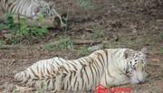 Đại gia 'điếu cày': 70 tỷ nuôi hổ trắng, tê giác châu Phi