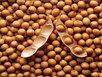 Thực phẩm biến đổi gen: Người Việt biến thành 'chuột bạch'