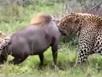 Lợn rừng 'khủng' bị đôi báo xẻ thịt