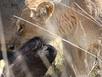Xem trâu rừng dũng mãnh càn quét bầy sư tử