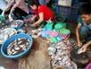 Cá ươn lóc sẵn giá 20.000 đồng/kg ở chợ đầu mối