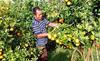Nông dân 'siêu sang': Bón cam bằng đậu tương, ngô sạch