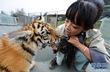 Cô gái 9x chọn nghề nuôi dạy hổ