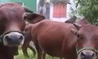 """Chuyện lạ ở Hà Tĩnh: Dắt bò ra đường phải nộp """"phí"""""""